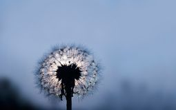 Dandelion in the evening Royalty Free Stock Photo