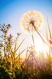 Dandelion in the evening sunshine. Dandelion in the evening during sunset. Summer meadow background. Vertical composition Stock Image