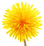 Dandelion. Extra close up of the dandelion on the white Stock Photo