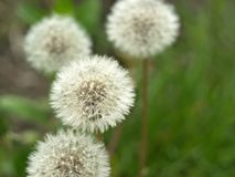 Dandelion. A faded dandelion. Boke. Dandelion. Spring flowering. A faded dandelion. Boke stock photos