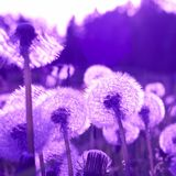 Dandelions. Tinted by mauve color stock image