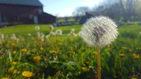 Dandelion farm. Lawn in need of weed control Stock Images