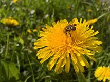 Dandelion Feast Royalty Free Stock Photography