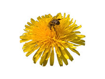 Dandelion Feast Isolated. Bee eating nectar from yellow flower in the sunshine. White background royalty free stock photos