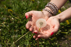 Dandelion in female hands Royalty Free Stock Photography