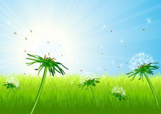 Dandelion field. Vector illustration, AI file included Royalty Free Stock Photo