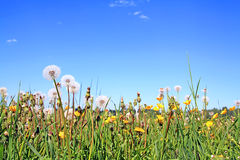 Dandelion on field Royalty Free Stock Photo
