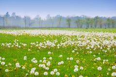 Dandelion field Royalty Free Stock Photo