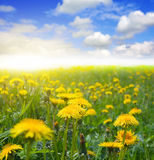 Dandelion field Stock Photos