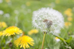 Dandelion in a field stock image