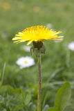 Dandelion in a field Royalty Free Stock Images