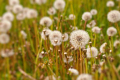 Dandelion field Royalty Free Stock Photos
