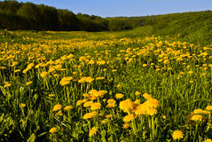 Dandelion field. In the early morning Royalty Free Stock Image