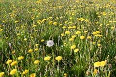 Dandelion field Stock Images