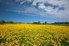 Dandelion field Stock Photo