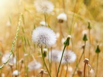 Dandelion field Stock Images