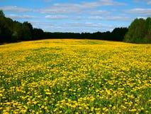 Dandelion field Stock Photography