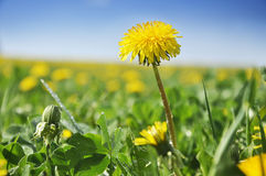 Dandelion field Stock Image