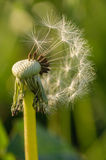 Dandelion in the field Royalty Free Stock Image