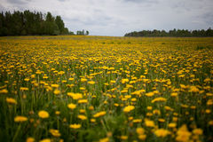 Dandelion field. In St.Petersburg, Russia stock photography
