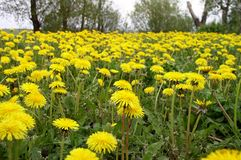 Dandelion Field. A field of dandelions royalty free stock image