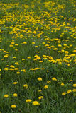 Dandelion field. Portrait, meadow royalty free stock photo