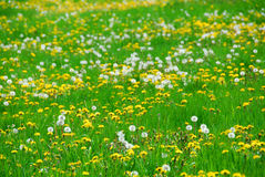 Dandelion field Royalty Free Stock Photography