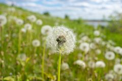 Dandelion in the field against the background of the meadow and sky royalty free stock photography