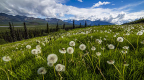 Dandelion field in Alaska. A field with full of dandelion near a highway in alaska Royalty Free Stock Photography