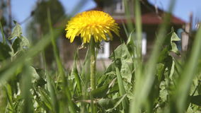 Dandelion on the field in the background of a village house. Blooming dandelion against the backdrop of a village house stock footage