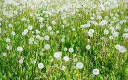 Dandelion field. Beautiful dandelion green field background Royalty Free Stock Photography