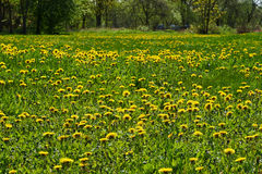 Dandelion field. Beautiful yellow flowering sow field sunny spring day Lithuania Royalty Free Stock Photography