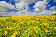 Dandelion field blossoming with beautiful sky and Royalty Free Stock Images
