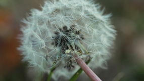 Dandelion in a field,blow and make a wish stock image
