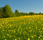 Dandelion field and blue sky Stock Image