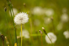 Dandelion in the field with blurred background Royalty Free Stock Photo