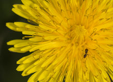 Dandelion in field close up with ant Stock Photography