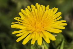Dandelion in field Royalty Free Stock Images