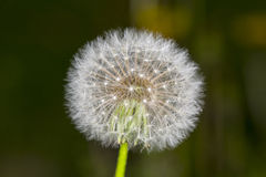 Dandelion in field Royalty Free Stock Photography