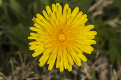 Dandelion in field Stock Images