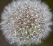 Dandelion in field Stock Photo