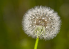 Dandelion in field close up Royalty Free Stock Image