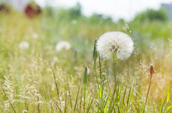 Dandelion field close up Royalty Free Stock Image