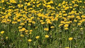 Dandelion in a Field Royalty Free Stock Photo