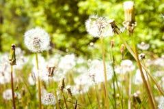 Dandelion field; closeup og blowballs Stock Photos