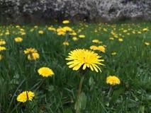 Dandelion field. Field with dandelions Stock Photo