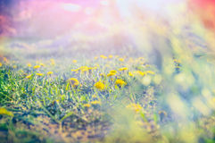 Dandelion field in dawn light , toned Stock Photo