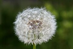 Dandelion field after flowering on a summer day. Dandelion, background, spring, nature, flowers, blue, floral, life, blowing, seeds, flower, white, beautiful Royalty Free Stock Photography