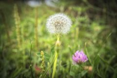 Dandelion among field flowers. Beautiful Dandelion, first spring flower in a company with field flowers, a wonderful detail in nature stock image