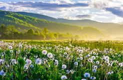 Dandelion field on foggy sunrise. Beautiful agricultural scenery in mountains royalty free stock photography